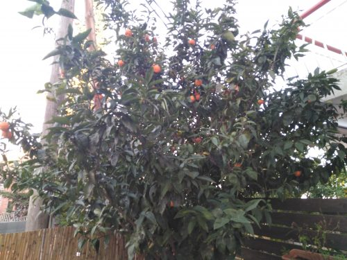 struik met Spaanse mandarijnen